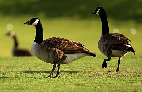 """A flock of geese left a deluge of """"presents"""" on a North Carolina field, causing the game to be changed."""